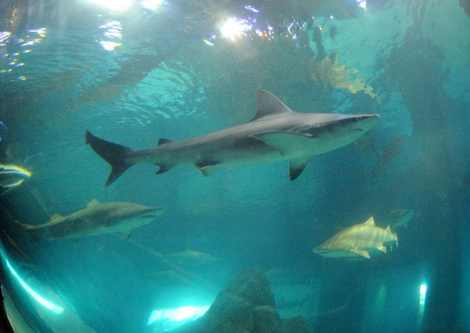 Sharks are a draw at the Shark Realm exhibit seen in July 2015 at Adventure Aquarium in Camden, New Jersey. A 500,000-gallon aquarium at the Da Vinci Science City envisioned in Easton is also proposed to have these carnivorous fish. (NJ Advance Media file photo | For lehighvalleylive.com)