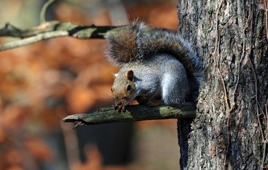 Gray squirrels will be the target of New Jersey hunters carrying air guns starting on Sept. 28.