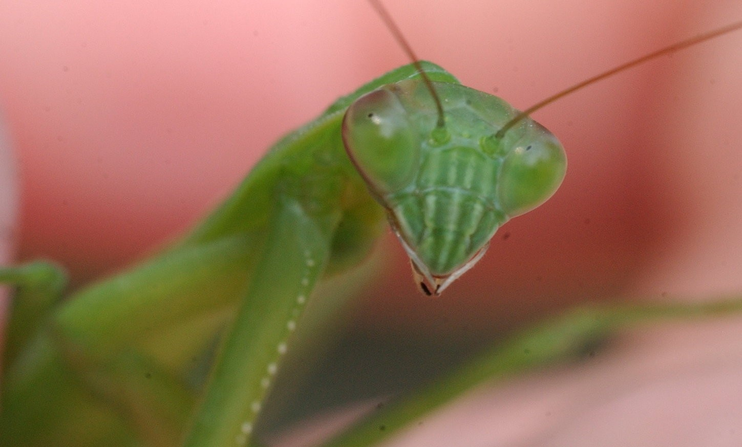 Praying Mantises The Good The Bad And The Ugly Nature Watch