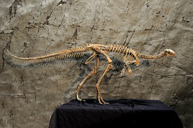 This Dryosaurus altus will soon be on display at the Beneski Museum of Natural History at Amherst College.