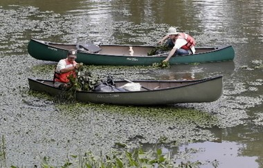Employees from the Silvio Conte National Fish and Wildlife Refuge weed out water chestnuts from a pond at the Big E in this past photograph.