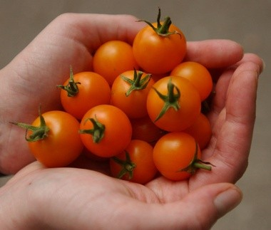 Locally grown tomatoes used by a restaurant chef in Amherst.