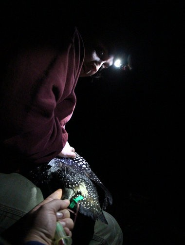 Jill Pereira, of DCR, holds a loon steady while Rick Gray, of BRI, draws blood Thursday, July 24, 2014, at Quabbin Reservoir.