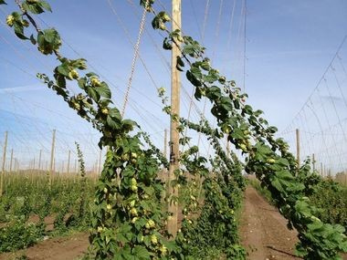 Chinook hops sway in the breeze at Hop Head Farms in Michigan in 2013.