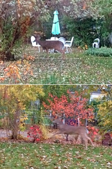 Ann Arbor resident Ilene Tyler snapped these cell phone photos of a buck in her backyard off Division Street on Oct. 25, 2015.