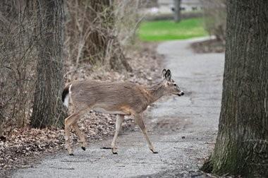 A deer walks across a path near Geddes Avenue in Ann Arbor.