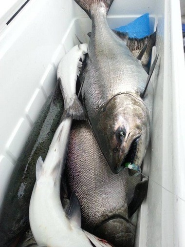 Cooler of king salmon caught Wednesday morning on a Great Lakes Guide Service charter