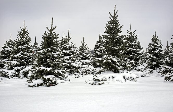 Where To Find Fresh-cut Christmas Trees In The Jackson