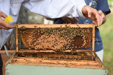 Tom Fisher, 59 of Royal Oak, slowly pulls out a honeycomb frame covered in bees during a hands-on beekeeping class with Joan and Rich Mandell of Green Toe Gardens, Tuesday evening at urban farm and apiary Food Field in Detroit, Aug. 16, 2016.(Tanya Moutzalias | MLive Detroit)