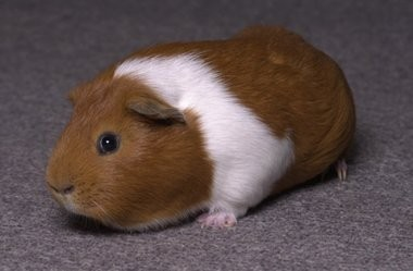 A guinea pig, like the one in this file photo, was at the center of a federal lawsuit against Grand Valley State University.