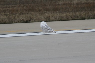 A picture of a snowy owl in the airfield at the Ford International Airport (Courtesy: Gerald R. Ford International Airport)