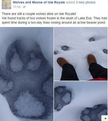 The latest Wolves and Moose of Isle Royale Facebook post