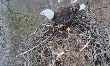 Photo of a bald eagle nesting at the Platte River State Fish Hatchery in Benzie County. The public can now tune into Carbon TV's Eagle Cam thanks to its partnership with Michigan's Department of Natural Resourcres to wait one or a pair of eagles. An egg was laid over the March 12th weekend.