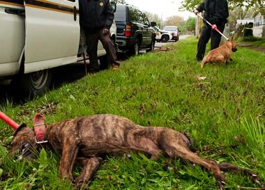 13 pit bulls seized in West Michigan dog-fighting probe