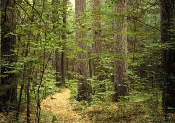 A forest in Michigan (Photo courtesy of the Michigan DNR)