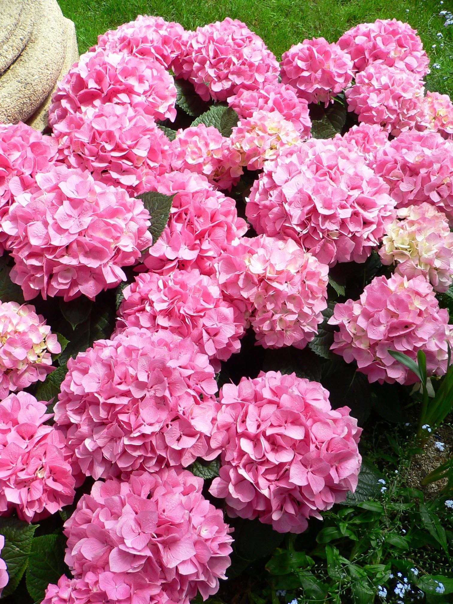 Bombastic Blooms Hydrangeas Are Hardy Showy Late Summer Plant In