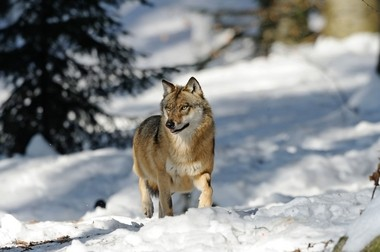 Keep Michigan Wolves Protected is trying to halt the hunting of wolves.