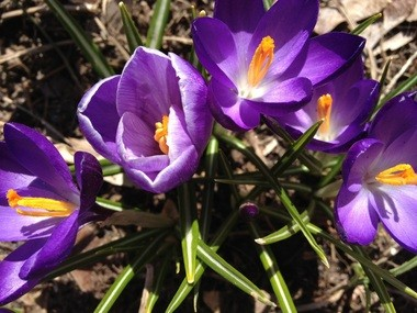 Crocuses are in bloom now, but March in Kalamazoo has been a cool one.