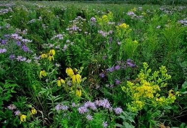Wild flowers help harbor populations of pollinators.