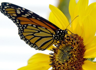 Eastern monarch butterflies migrated by the millions in the fall of 2006 from the northern U.S. to Mexico.