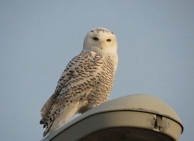 This snowy owl was sighted around Kalamazoo last Sunday.