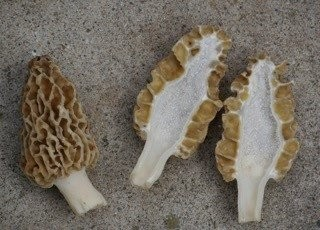 True morels, such as Morchella esculentoides, are hollow, with a cap attached at the bottom, said Chris Wright, Midwest American Mycological Information.