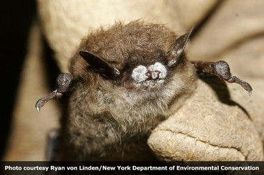 Little brown bat; fungus on wing membrane, October 2008, New York.