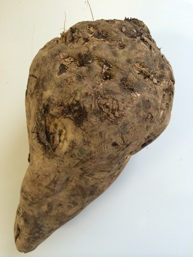 This is one of the sugar beets brought into Michigan Sugar Co. as part of a record crop this year that weighs in at a whopping 5,090,724 tons.
