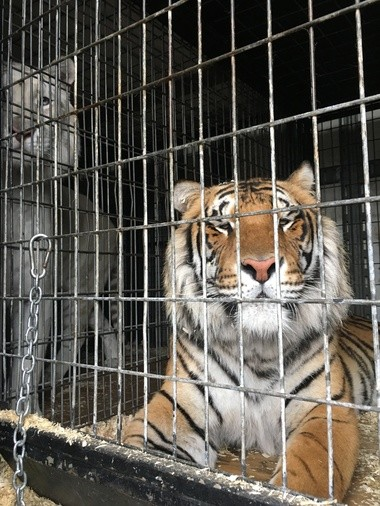 Two of the eight Bengal tigers being hauled by a semitrailer that was involved in a crash on Interstate 75 in Bay County on May 14, 2018.