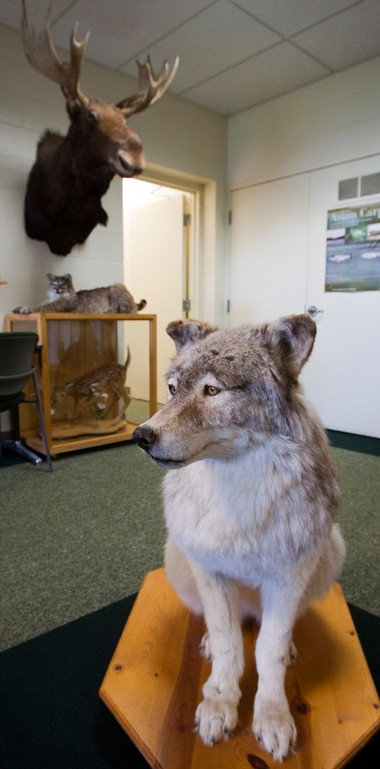 A stuffed wolf is pictured in the lobby of the DNR's Marquette office Thursday, Nov. 14, 2013. The state's first wolf hunt begins Friday.