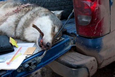 This 80-pound gray wolf was killed on the first day of the Nov. 15 wolf-hunting season by a Huron County man in Gogebic County. Only 22 others would be taken before the season closed Dec. 31, out of 43 allowed.