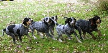 Bluetick hounds, seen here in a file photo, are trained from an early age on tracking bear, bobcats, raccoons and other prey. Friendly and loyal to humans, they are tenacious trackers. Short blue and black hair gives them their namesake color tint.