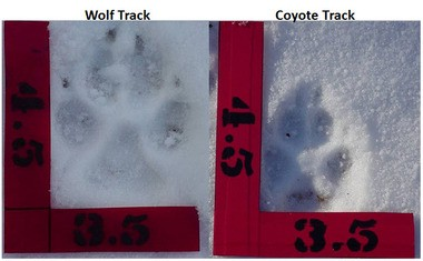 A DNR-provided photo showing the difference between wolf and coyote tracks