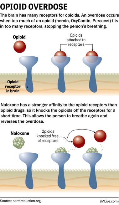 The brain has many receptors for opioids. An overdose occurs when too much of an opioid (heroin, OxyContin, Percocet) fits in too many receptors, stopping the person's breathing. Naloxone has a stronger affinity to the opioid receptors than opioid drugs, so it knocks the opioids off the receptors for a short time. This allows the person to breathe again and reverses the overdose.