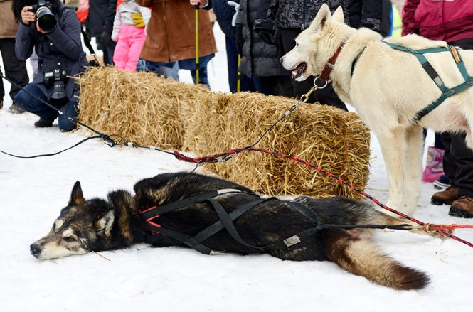 Sled dogs race night and day across Michigan's UP - mlive com