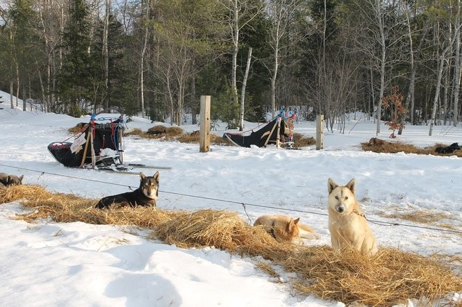The dogs get cozy in their nests of straw.
