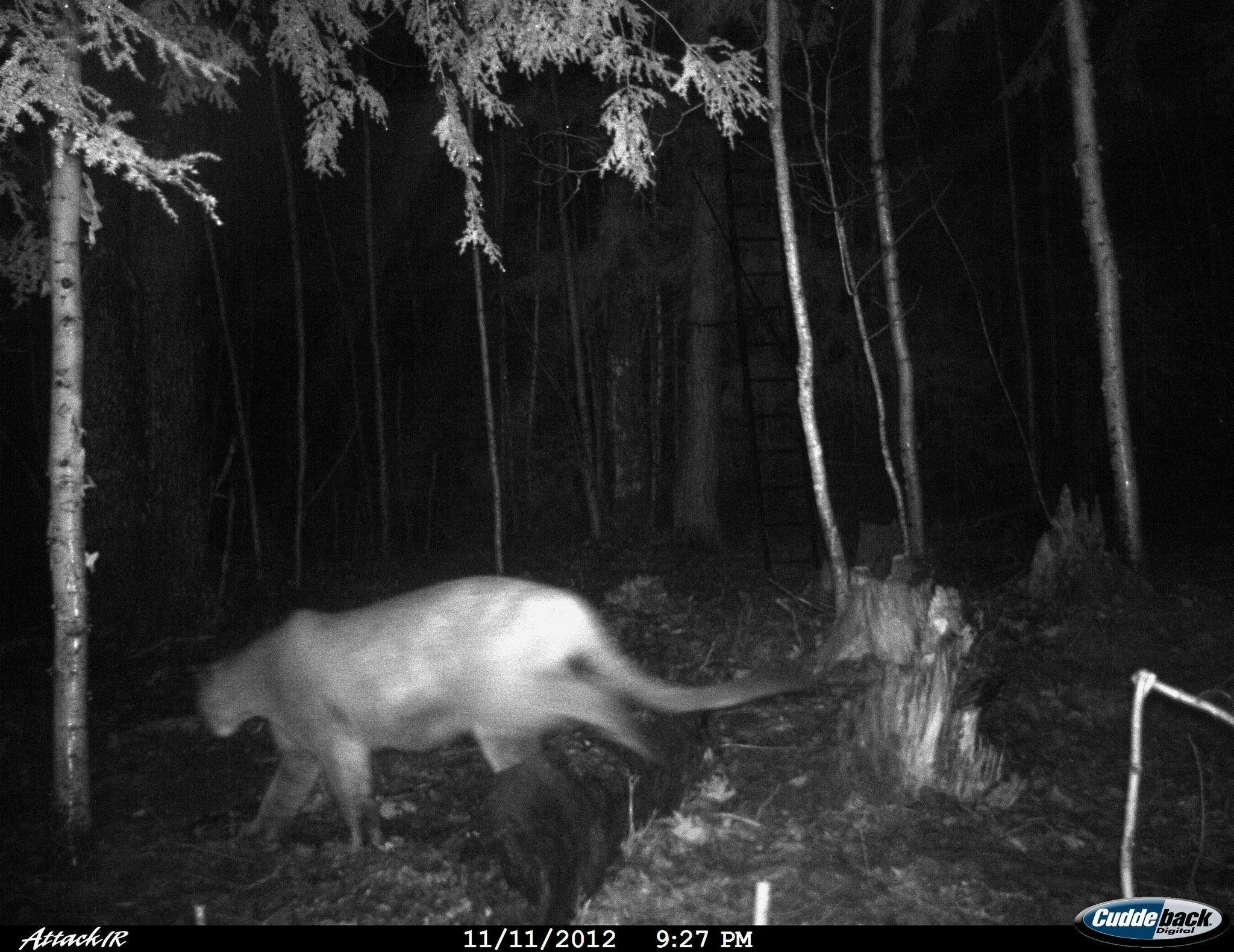 Cougar sightings in michigan