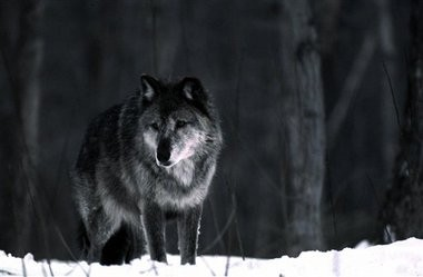 A coalition is trying to block a state law that could authorize a wolf hunt in Michigan's Upper Peninsula.