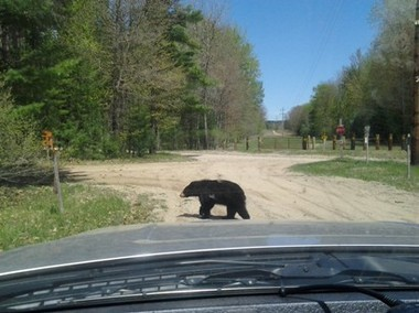 DNR wildlife biologist Pete Kailing sits in his truck as a black bear passes by.