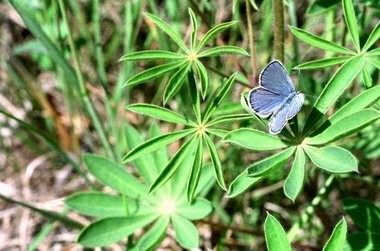 A rare Karner blue butterfly on a Wild Lupine plant in the Allegan State Game Area