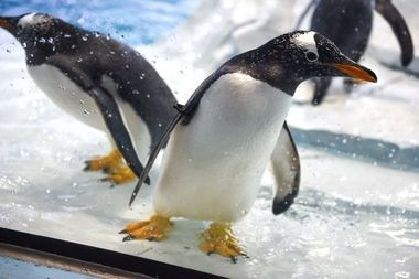 More than 80 penguins live in the Detroit Zoo's Polk Penguin Conservation Center.