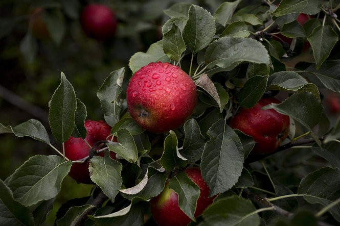 Kilcherman's Christmas Cove Farm in Northport offers more that 200 varieties of apples on their 85-acre farm on the Leelanau Peninsula. (Emily Rose Bennett | MLive.com)