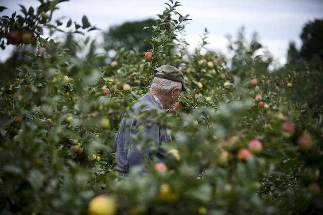 John Kilcherman walks through the younger trees at his antique apple farm in Northport, Tuesday, Sept. 13, 2016. The 85-acre farm offers more than 200 varieties of antique and modern apples, as well as cider and one of the largest soda bottle collections in the world. (Emily Rose Bennett | MLive.com)