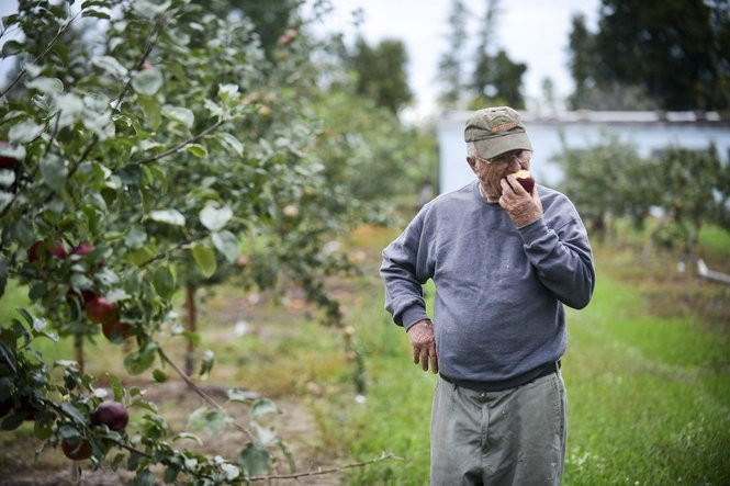 John Kilcherman takes his first taste ever of a Burgundy apple, a newer apple on his farm in Northport, Tuesday, Sept. 13, 2016. The apple originated in New York in the 1970s and has a deep red skin and pink flesh. (Emily Rose Bennett | MLive.com)