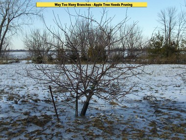 Fruit trees need to be pruned for quality fruit. This tree has too many branches, and will try to make too many fruits.