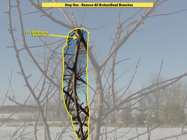The first limbs to remove are any dead or broken limbs. Here one limb is broken and hanging down.