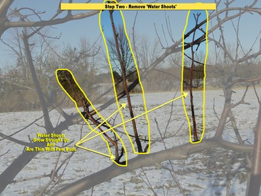 Water shoots are the next to remove. Water shoots are thin branches that grow straight up off of main branches. These will never produce fruit.