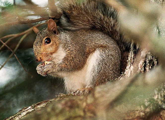 Legal ways to kill skunks, squirrels, raccoons, woodchucks