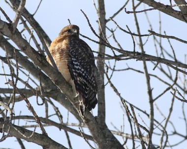 A red-shouldered hawk in Allendale. (Jim Wright)