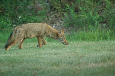A coyote in this 2008 file photo.